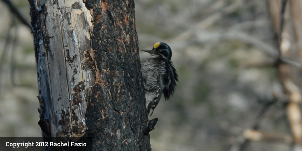 Black_Backed_Woodpecker