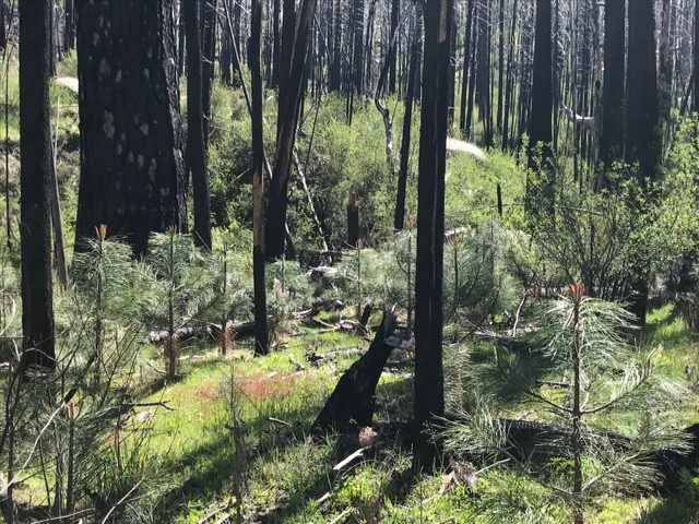 ACTION NEEDED:  Sierra Nevada Conservancy Biomass Logging Threatens Rim Fire Burn Area Recovery!